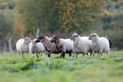 Pak schapen met op het weiland stock foto's