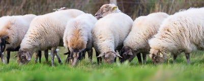 Pak schapen met op het weiland royalty-vrije stock foto's