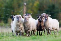 Pak schapen met op het weiland royalty-vrije stock foto