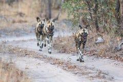 Pak van de wilde honden jacht stock afbeelding