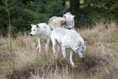 Pak van Grey Wolves Royalty-vrije Stock Afbeeldingen