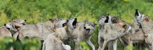 Pak van grijze wolf royalty-vrije stock foto's
