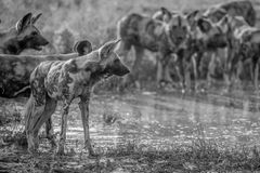 Pak van het Afrikaanse wilde honden drinken stock fotografie