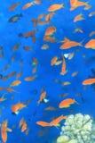 Pak van het gekleurde Overzees van vissenegypet stock foto