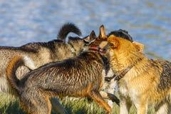 Pak van honden het spelen Stock Fotografie