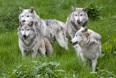 Pak van Vier Europees Grey Wolves stock afbeeldingen