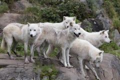 Pak van vijf volwassen noordpoolwolven status royalty-vrije stock fotografie