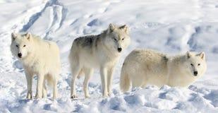 Pak van wolve in sneeuw royalty-vrije stock fotografie