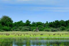 Pak Wilde Honden die in Botswana jagen Het wildscène van Afrika, Moremi, Okavango-delta Dierlijk gedrag, groepstrots Afrika royalty-vrije stock foto's