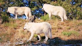 Pak wolven royalty-vrije stock foto's