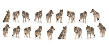 Pak wolven stock foto