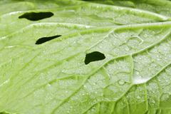 Pakchoi cabbage leaves Stock Image