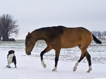 PAkhal-Teke stallion playing with a dog Stock Photography