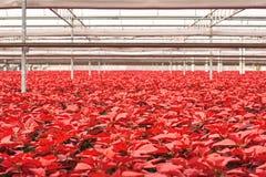 Pakhuis van Poinsettiabloemen voor de vakantie Stock Foto