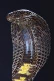 Pakistańska czarna kobra (Naja naja karachiensis) Zdjęcia Royalty Free