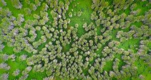 Pakistan: Gebirgswaldland, Tannenbäume stockfoto