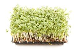 Pakket van het Kweken van Spruiten stock fotografie
