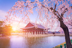 Palácio de Gyeongbokgung com a árvore da flor de cerejeira no tempo de mola dentro fotos de stock royalty free