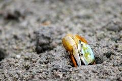 Palétuvier de crabe de violoneur Images stock