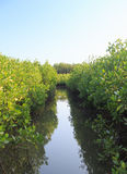 Palétuvier de croissance, forêt Images libres de droits