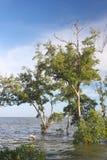 Palétuvier en mer. Photo libre de droits