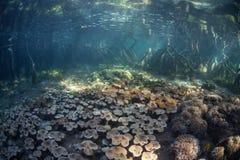 Palétuvier et coraux de l'eau bleue en Raja Ampat photographie stock libre de droits