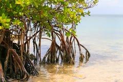 Palétuviers dans les clés de la Floride Photographie stock