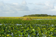 Palétuviers de marais Photographie stock