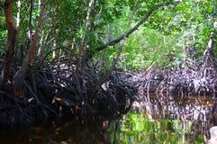 Palétuviers en rivière de jungle Photo libre de droits