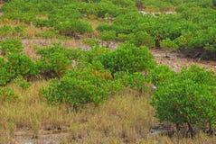 Palétuviers sur le secteur marécageux Photo libre de droits