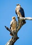 Pal przekształcać się Tawny Eagles (Aquila rapax) Zdjęcie Stock