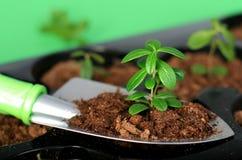 Pala con el suelo y la planta. Imagen de archivo libre de regalías