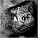 Palabra salvaje Retrato de la cara de un varón del gorila Fotos de archivo