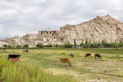 Palacio de Shey en la colina; vacas que pastan en pasto abajo, Leh foto de archivo