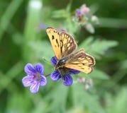 Palaemon de Carterocephalus de papillon Photographie stock