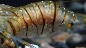 Palaemon de piedra del camarón Elegans del Palaemon almacen de video