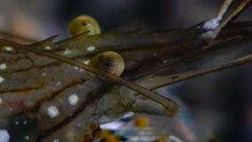 Palaemon de piedra del camarón Elegans del Palaemon almacen de metraje de vídeo
