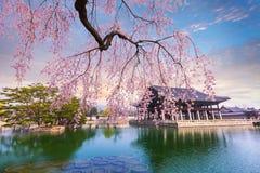 Palais de Gyeongbokgung avec du temps d'arbre de fleurs de cerisier au printemps dedans Image libre de droits