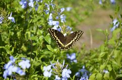 Palamedes swallowtail butterfly in a garden. Palamedes swallowtail butterfly in a florida garden royalty free stock image