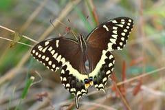 Palamedes Swallowtail (palamedes de Papilio) Imagen de archivo