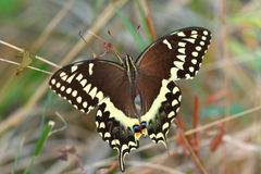 Palamedes Swallowtail (palamedes de Papilio) Image stock
