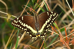 Palamedes Swallowtail (palamedes di Papilio) Fotografia Stock Libera da Diritti