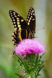 Palamedes Swallowtail (Papilio palamedes) Royalty Free Stock Image