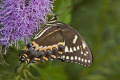 palamedesswallowtail Arkivbilder