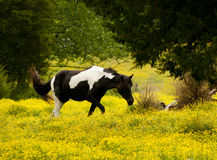 Palameno horse in a field of yellow flowers. Royalty Free Stock Photography