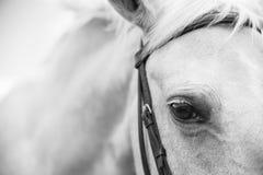Palamino马的黑白图象 免版税库存图片