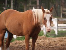 Palamino Horse. Standing in Pasture Stock Photography