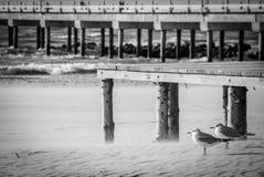 Palanga, gaviotas contra el viento, BW fotografía de archivo