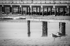 Palanga, Seagulls against the wind, BW. Two seagulls on the beach in relax Stock Photography