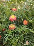 Palant naturel de gendaphul palant de fleurs dans le hom images libres de droits